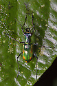 Tiger Beetle {Cicindelinae} Central Caribbean foothills, Costa Rica. May.