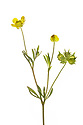 Corn Buttercup (Ranunculus arvensis). Fivehead Arable Fields nature reserve, managed by the Somerset Widlife Trust. This site has one of the most important assemblages of rare arable weeds in Britain. Back from the Brink 'Colour in the Margins' project. Somerset, UK. June. Photographed against a white background in mobile field studio.