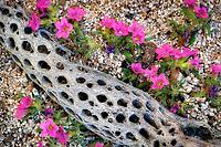 Purple Mat (Nama demissum) and decayed Cholla cactus branch. Anza Borrego Desert State Park, California