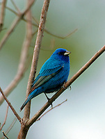 A Blue Grosbeak.