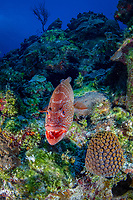 tiger grouper, Mycteroperca tigris, Bloody Bay Wall, Little Cayman, Cayman Islands, Caribbean Sea, Atlantic Ocean