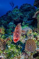 tiger grouper, Mycteroperca tigris, Bloody Bay Wall, Little Cayman, Cayman Islands, Caribbean Sea, Atlantic Ocean