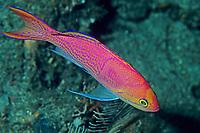 anthias or basslet, Pseudanthias elongatus, Izu ocean park, Sagami bay, Izu peninsula, Shizuoka, Japan, Pacific Ocean