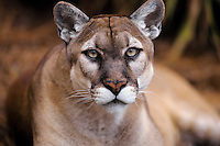 Florida Panther (Puma concolor), Florida, endangered species.