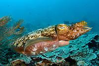 Broadclub Cuttlefish, Sepia latimanus, Raja Ampat, Indonesia,