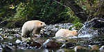 Adult spirit bears or Kermode bears (Ursus americanus kermodei)(pale/white morph of an North American black bear). Trying to catch salmon along Gwaa stream, Gribbell Island, Great Bear Rainforest, British Columbia, Canada. September 2018.