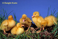 DG20-011z  Pekin Duck - young