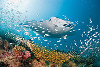 reef manta ray, Mobula alfredi, swims over cleaning station on patch reef, with yellow sweepers or golden sweepers, Parapriacanthus ransonetti, and other schooling fish, Hanifaru Bay entrance, Hanifaru Lagoon, Baa Atoll, Maldives, Indian Ocean