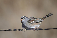 White-crowned Sparrow, Pawnee National Grasslands, Colorado
