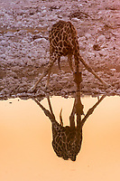 Giraffe drinking at a waterhole, reflecting in the water, Okaukuejo Rest Camp, Etosha National Park, Namibia, Africa