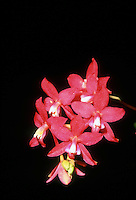 Cochlioda coccinea 'Megan', CCM/AOS orchid species, Brazilian native