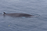 Surfacing Minke whale Balaenoptera acutorostrata DNA Sample dart flying through the air Norwegian sea North Atlantic
