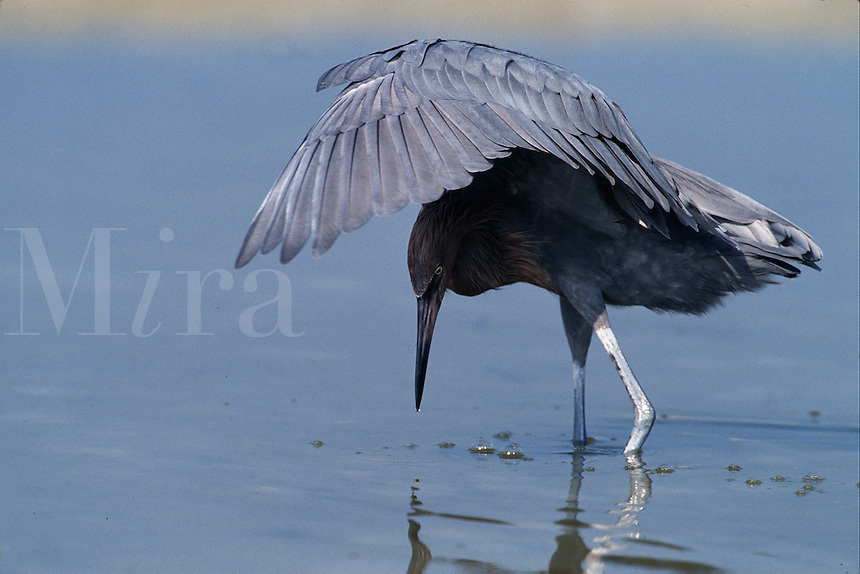 A Reddish egret (Dichromanassa rutescens) cleverly shields the sun with its wings overhead while fishing in shallows.