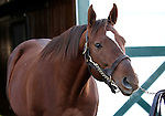 17 January 2010.   Kentucky Stallion Farms.  Noble Causeway being shown at Crestwood Farm in Lexington, KY.