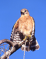 Red-shouldered hawk in the Everglades National Park, Florida
