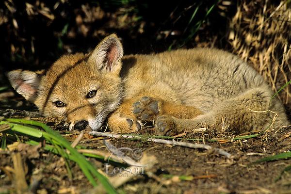 Wild Coyote (Canis latrans) pup resting beneath bush.   Western U.S., June.