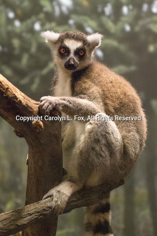 A lemur hangs on a tree.