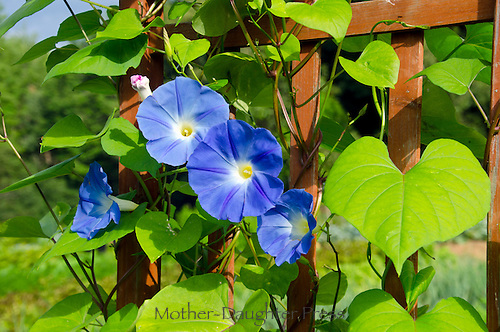 Morning glory blooms, Maine, Community Garden, USA
