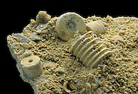 Crinoid stem pieces in fossiliferous limestone. Cesears Creek State Park, Ohio, USA.