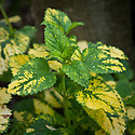 Melissa officinalis 'Aurea', mid May. Commonly known as Variegated or Yellow-leaved lemon balm.