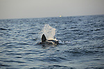 a great white shark bursts from the waters of South Africa's False Bay to strike a hookless decoy that resembles a seal.