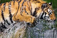 Bengal tiger (Pantera tigris) running thru pond.
