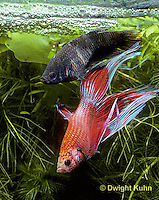 BY05-068z  Siamese Fighting Fish - male mating with egg laden female - Betta splendens