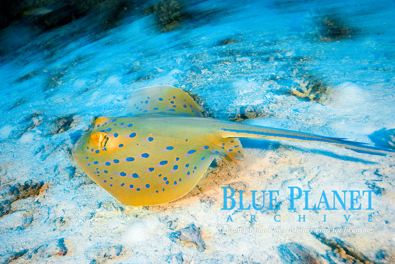 blue spotted ray, Taeniura lymma, Egypt, Red Sea, Northern Africa