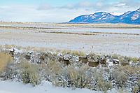 Mule deer in snowy pasture near Adel, Oregon