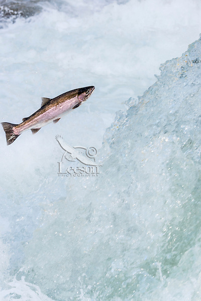Wild Summer Steelhead Salmon (Oncorhychus mykiss) jumping falls on migration to spawning areas.  Pacific Northwest.  Fall.  This is a wild fish not a hatchery one.