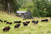 Brown sheep outside a Welsh farmhouse near the village of Croesor in Snowdonia National Park.