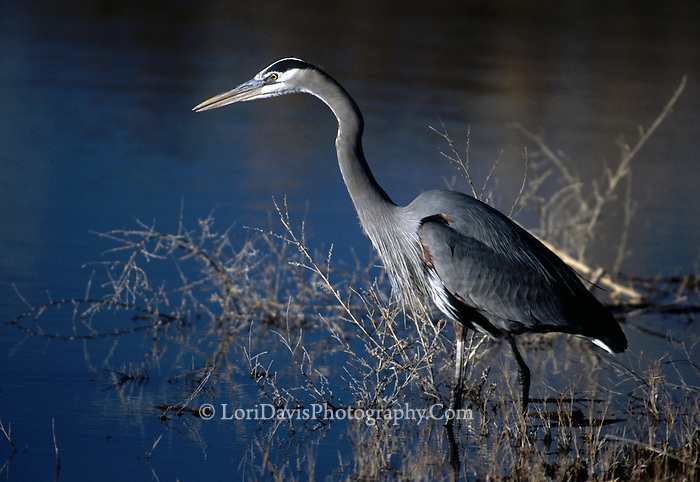 Great Blue Heron  #H1