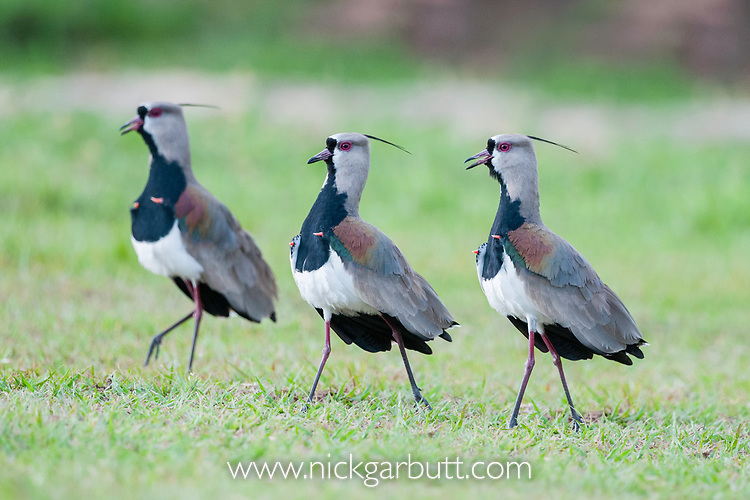 Male Southern lapwings (Vanellus chilensis) displaying in grasslands, Chapada dos Guimaraes, Brazil, South America.