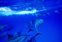 Spinner dolphins off Midway island
