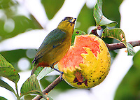 Female olive-backed euphonia eating guava, The guava rind had been torn open by a parrot allowing the small birds to feed on the pulp and seeds, a nice cooperative arrangement.