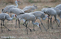 0102-1005  Flock of Sandhill Cranes Eating in Field during Winter, Grus canadensis  © David Kuhn/Dwight Kuhn Photography