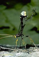 1W17-020e  Giant Ichneumon Wasp - Megarhyssa atrata. - laying egg through wood to parasitize Tremex columba (horntail) developing inside