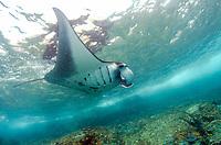 reef manta ray, Manta alfredi, by island with crashing waves, Manta Alley dive site, Padar Island, Komodo National Park, Indonesia, Indian Ocean