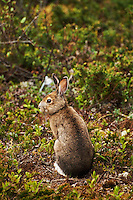 A snowshoe hare (Lepus americanus)in profile in its brown summer coat amidst the scrubby lakeshore plants in Pukaskwa National Park, Ontario, Canada.