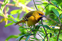 First summer male orchard oriole