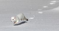 The February trip was so great for mustelid sightings. We actually managed to track down this weasel twice (following its footprints). On the second occasion, it actually stopped and posed a few times.