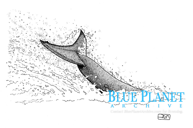 Great white shark, Carcharodon carcharias, tail slap, pen and ink illustration.