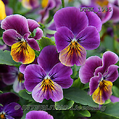 Gisela, FLOWERS, BLUMEN, FLORES, photos+++++,DTGK1985,#f#