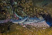 whitetip reef sharks, Triaenodon obesus, San Benedicto, Revillagigedo (Socorro) Islands, Mexico, East Pacific Ocean