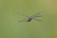 Green-striped Darner (Aeshna verticalis) Dragonfly in-flight, Ward Pound Ridge Reservation, Cross River, Westchester County, New York