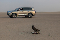 "United Arab Emirates (UAE). Dubai. Humaid Al Tayer is a rich Emirati man with a passion for falcons. He is the owner of A&H Falcons which take parts in various falcons' competitions in the UAE. On a remote desert area, he drives his Toyota Land Cruiser close to his Gyr-Peregrine falcon. As part of daily training, the hawk flies behind a remote controlled plane and tries to catch a prey (a dead duck) tied on a rope. Once catched and back on the ground, the bird will receive raw meat as reward, but not the duck meat because it is too fat. The falcon is following a strict diet in order to be a successful competitor. The Gyr Peregrine falcon is a hybrid of the world's largest hawk, the Gyrfalcon and the third largest hawk, the Peregrine falcon. Falcons are birds of prey in the genus Falco, which includes about 40 species. Adult falcons have thin, tapered wings, which enable them to fly at high speed and change direction rapidly. Additionally, they have keen eyesight for detecting food at a distance or during flight, strong feet equipped with talons for grasping or killing prey, and powerful, curved beaks for tearing flesh. Falcons kill with their beaks, using a ""tooth"" on the side of their beaks. The United Arab Emirates (UAE) is a country in Western Asia at the northeast end of the Arabian Peninsula. 22.02.2020  © 2020 Didier Ruef"