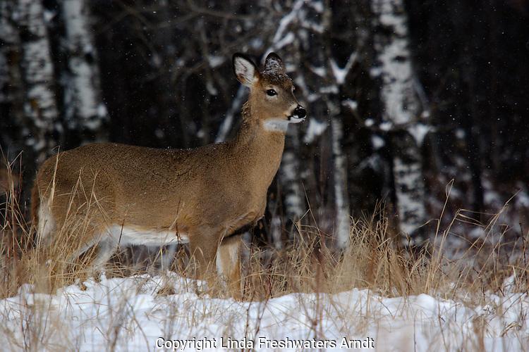 Snow falling on white-tailed deer (Odocoileus virginianus).  Winter, WI.