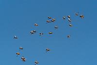 Des dizaines de mâles sont lancés dans une folle course aérienne à la poursuite d'une jeune reine vierge… avec la mort au rendez-vous ! <br /> <br /> Au mois de juin, quand la colonie est au fait de sa prospérité, les ouvrières construisent des cellules royales, d'où naîtront de jeunes princesses. À cette époque, les mâles quittent chaque jour leur ruche pour rejoindre la plus proche congrégation : un rassemblement aérien de 10 à 15 000 individus issus de plus de 200 colonies, qui forme un immense nuage bourdonnant. <br /> Des dizaines de mâles sont lancés dans une folle course aérienne à la poursuite d'une jeune reine vierge… avec la mort au rendez-vous ! <br /> <br /> Au mois de juin, quand la colonie est au fait de sa prospérité, les ouvrières construisent des cellules royales, d'où naîtront de jeunes princesses. À cette époque, les mâles quittent chaque jour leur ruche pour rejoindre la plus proche congrégation : un rassemblement aérien de 10 à 15 000 individus issus de plus de 200 colonies, qui forme un immense nuage bourdonnant.