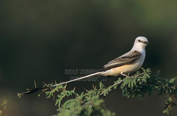 Scissor-tailed Flycatcher, Tyrannus forficatus,male, Starr County, Rio Grande Valley, Texas, USA, May 2002