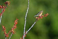 510400001 a wild juvenile male lazuli bunitng perches on a flowering ocotillo plant in florida canyon near madera canyon arizona united states